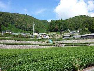 清沢の石積みの段々茶畑