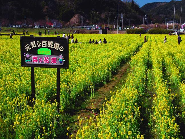 南伊豆町日野の菜の花畑
