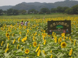 南伊豆町 日野のヒマワリ畑