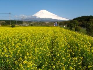 裾野市パノラマロードの富士山と菜の花