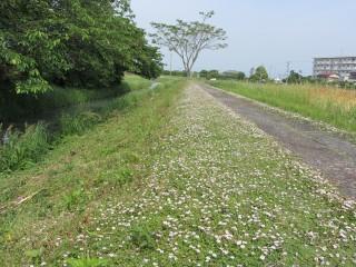 雑草抑制にもなるヒメイワダレソウの白い花
