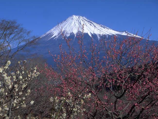 岩本山公園の梅と富士山