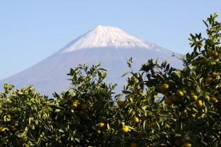 岩本山からのミカンと富士山