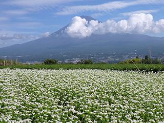 そば畑と富士山