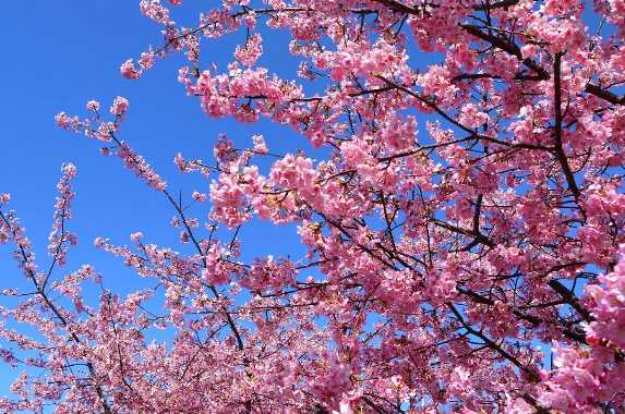 あらさわ紅桜