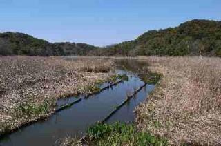 桶ケ谷沼では新芽が出始めました