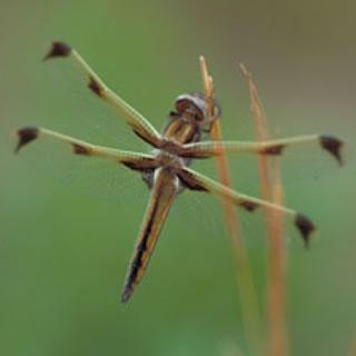 絶滅危惧種のベッコウトンボ
