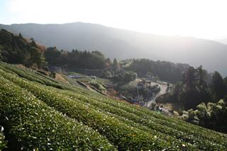 歴史ある本山茶