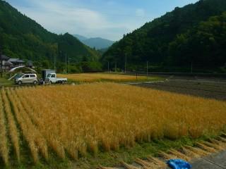 静岡県内でも珍しくなった黄金色に輝く麦畑