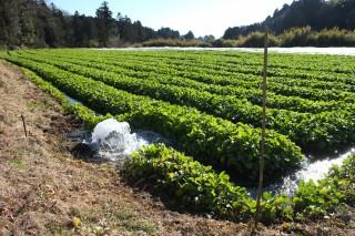 豊富な湧水を水源とした水かけ菜水田