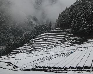 土地の形状を利用した石積みの段々茶畑が特徴