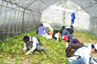 静岡大学の学生による援農活動