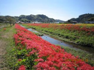 9月下旬、葉梨川沿いに咲く彼岸花