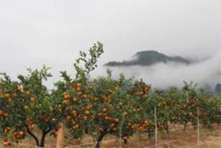 平坦な農地に整然と植栽された果樹