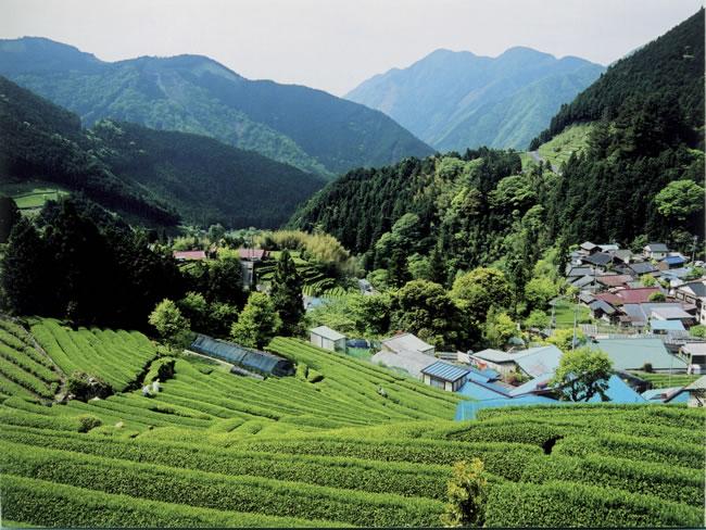 天空の集落、有東木の茶畑