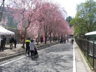 川根本町「徳山桜まつり」
