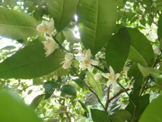 戸田のタチバナの白い花