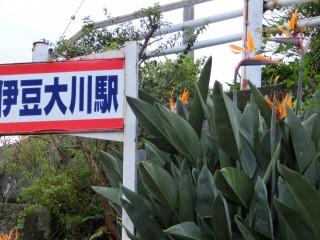 大川駅のストレチアの花