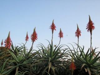 西伊豆町中のアロエの花