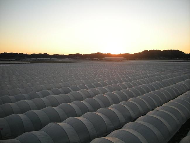 森町南部の夕焼けに染まるレタス畑