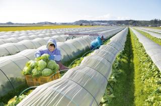 50年の歴史ある吉田のレタス栽培収穫