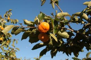 皇室献上の森町の治郎柿