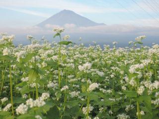 そば畑と富士山(第3回農村の魅力フォトコンテスト佳作)