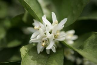 三ヶ日みかんの白い花