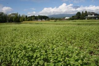 御殿場市西沢水系白いそばの花畑越しの富士山