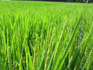 歴史ある水田地帯の美味しいお米