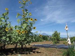 久米田の市民農園のヒマワリと富士山