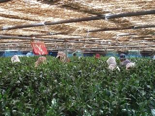 朝比奈玉露の栽培