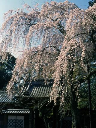 樹齢数百年といわれる枝垂れ桜