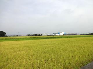 麦畑はコスモス畑に変身