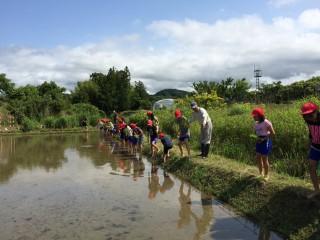 楽しそうに田植え体験をする小学生たち