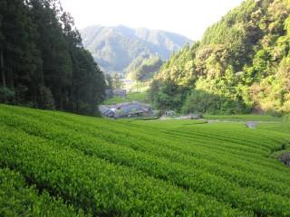 おいしいお茶を育む環境