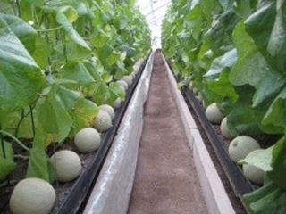 ハウスで栽培されるメロン