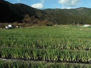 一面に広がるネギ畑