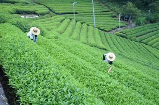 緑いっぱいの茶畑
