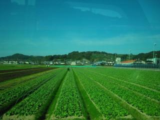 一面青々としたレタス畑