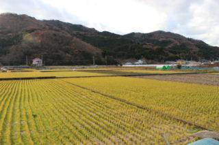 大堰により支えられる稲作