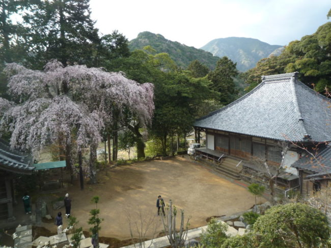報本寺の枝垂桜
