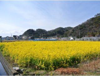 菜の花畑(ひまわり畑)