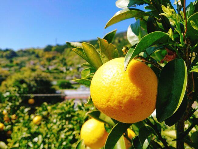 ニューサマーオレンジやポンカン等の柑橘作物