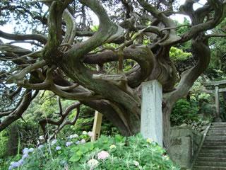 白鳥神社の千年ビャクシン
