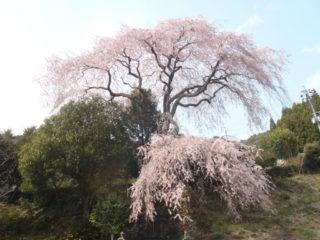 聖一国師のしだれ桜