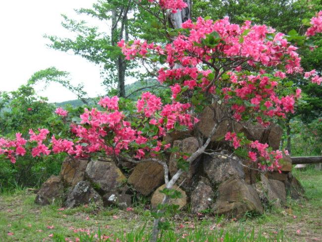 渋川つつじ(県指定天然記念物)