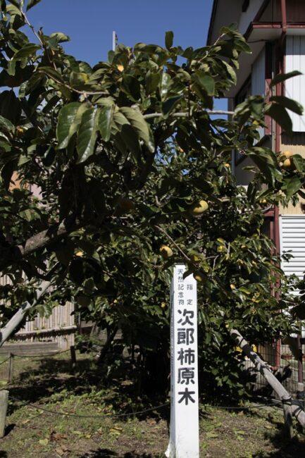 治郎柿の原木