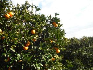 柑橘・柿樹園地