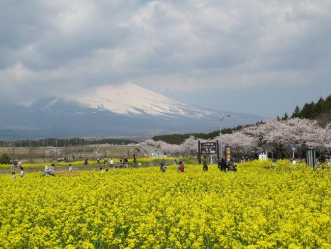 富士山菜の花&桜まつり